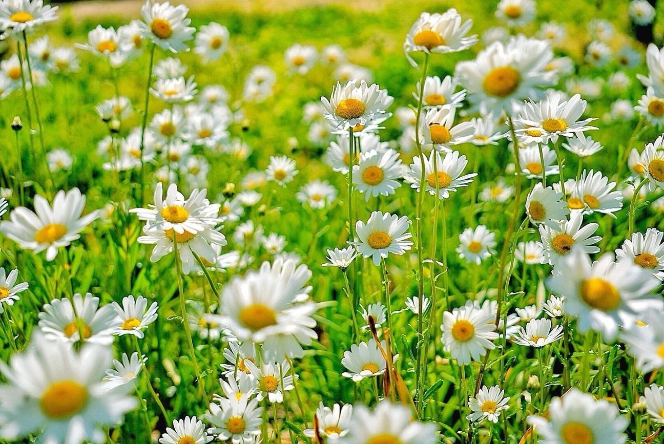 things you didn 39 t know about daisies daisy fun facts
