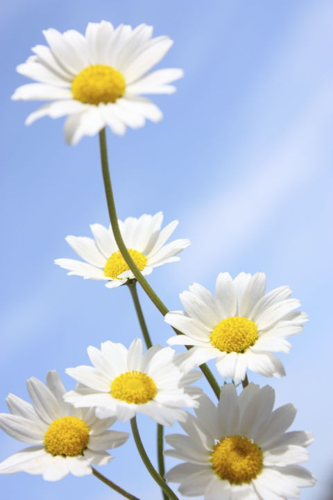 things you didn't know about daisies  daisy fun facts, Natural flower