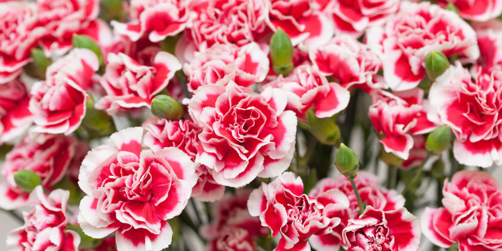 Carnation Fun Facts - Why Carnations Are the Best