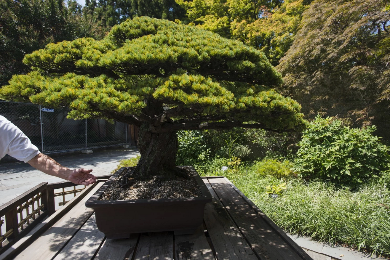 390 Year Old Bonsai Tree From Japan Old Bonsai Tree In