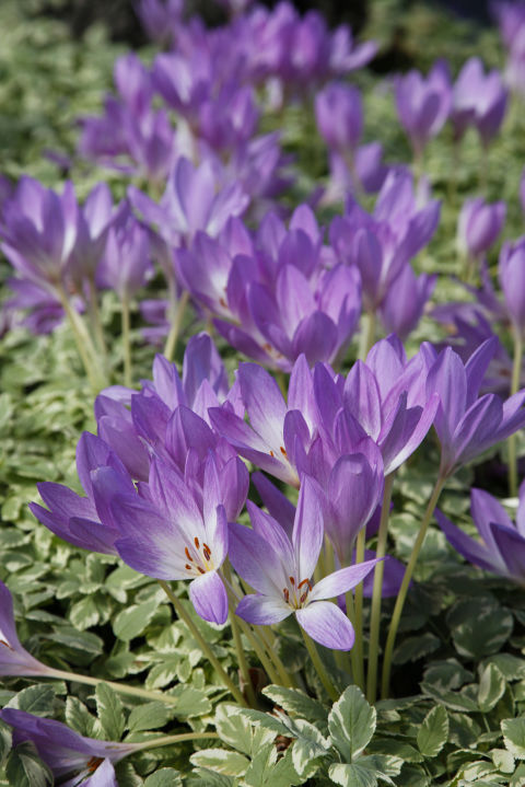 Fall crocuses sprout up from bulbs just like their spring counterparts, but the