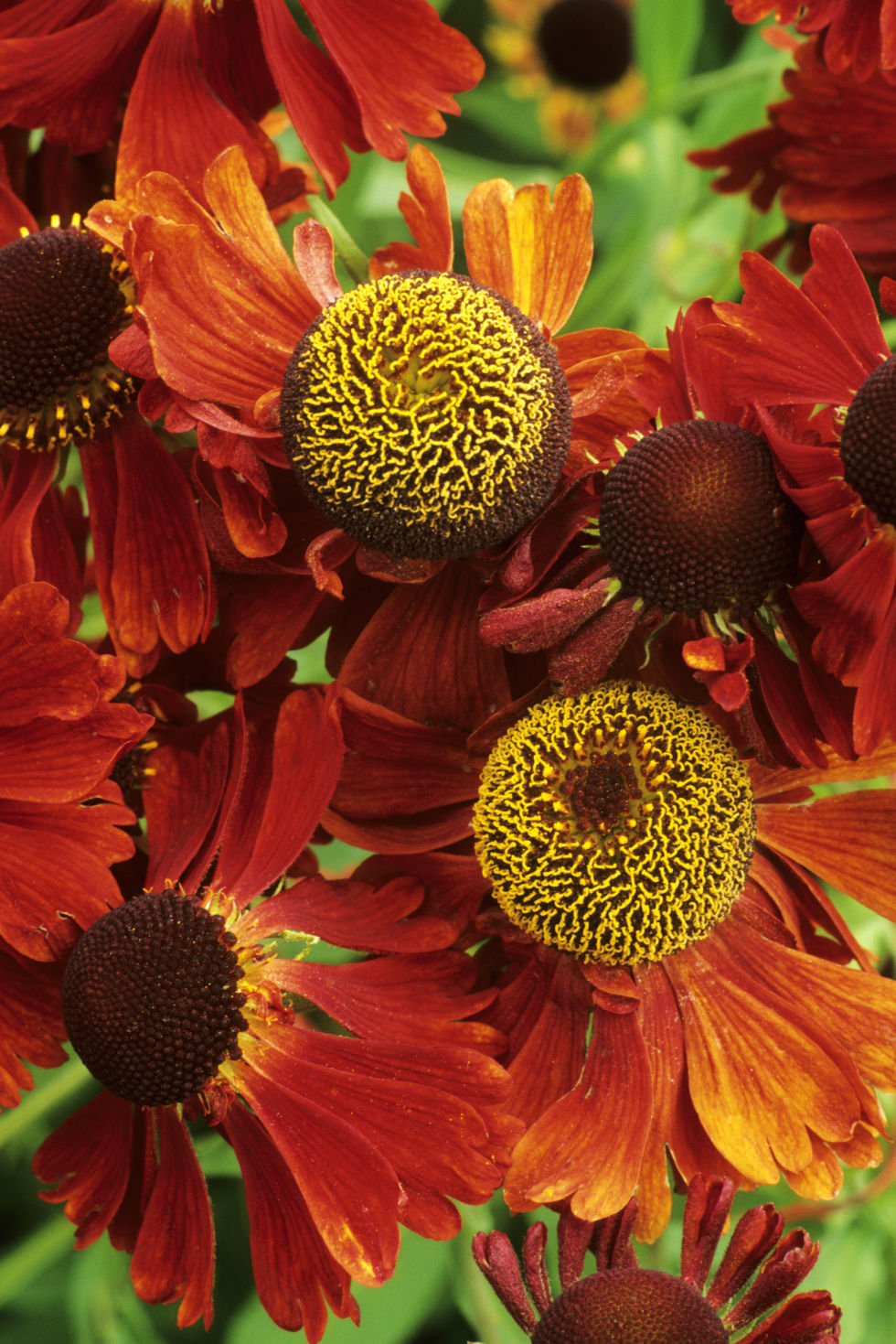 25 best fall flowers plants flowers that bloom in autumn dhlflorist Images