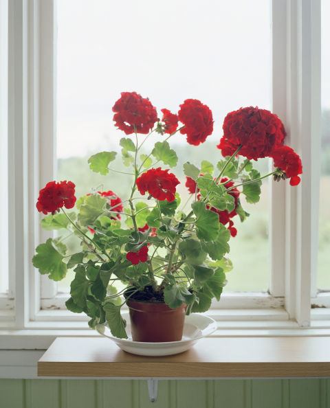 The masses of richly-hued flowers have always cheered us up, but the mild scent of the geranium plant (which is similar to that of roses) has been thought to promote peace of mind.