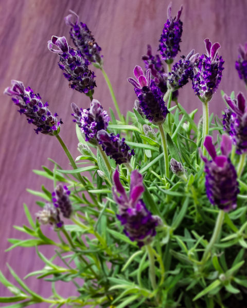 The aroma of lavender has long been thought to ease anxious feelings. While you could light a scented candle, the natural fragrance of fresh lavender perfumes the air constantly for a more consistent effect.  Here are 14 other things every lavender fan should know »