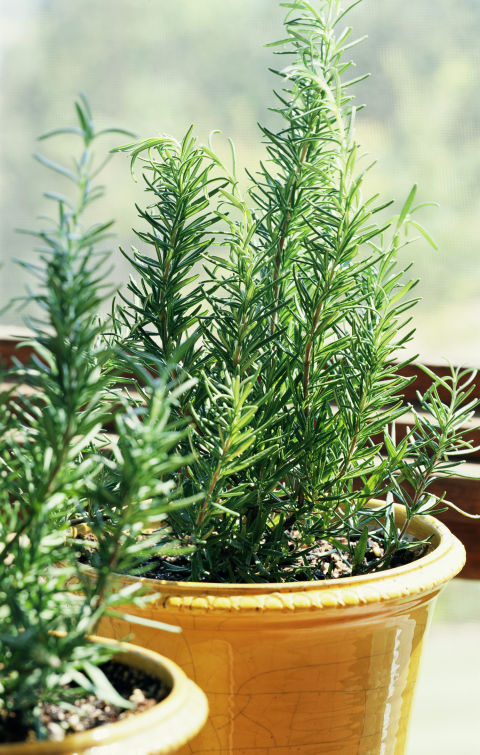 Historically, rosemary has symbolized everything from remembrance to inner peace. We suspect the connection is made through the enchanting aroma of the needles, which recall sunny days.