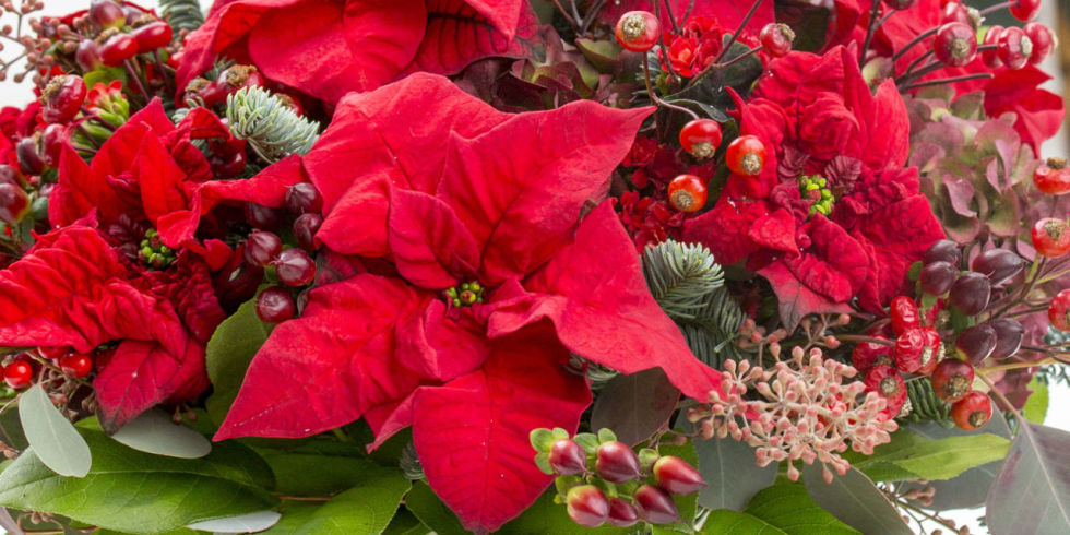 10 common poinsettia myths exposed facts about poinsetttia