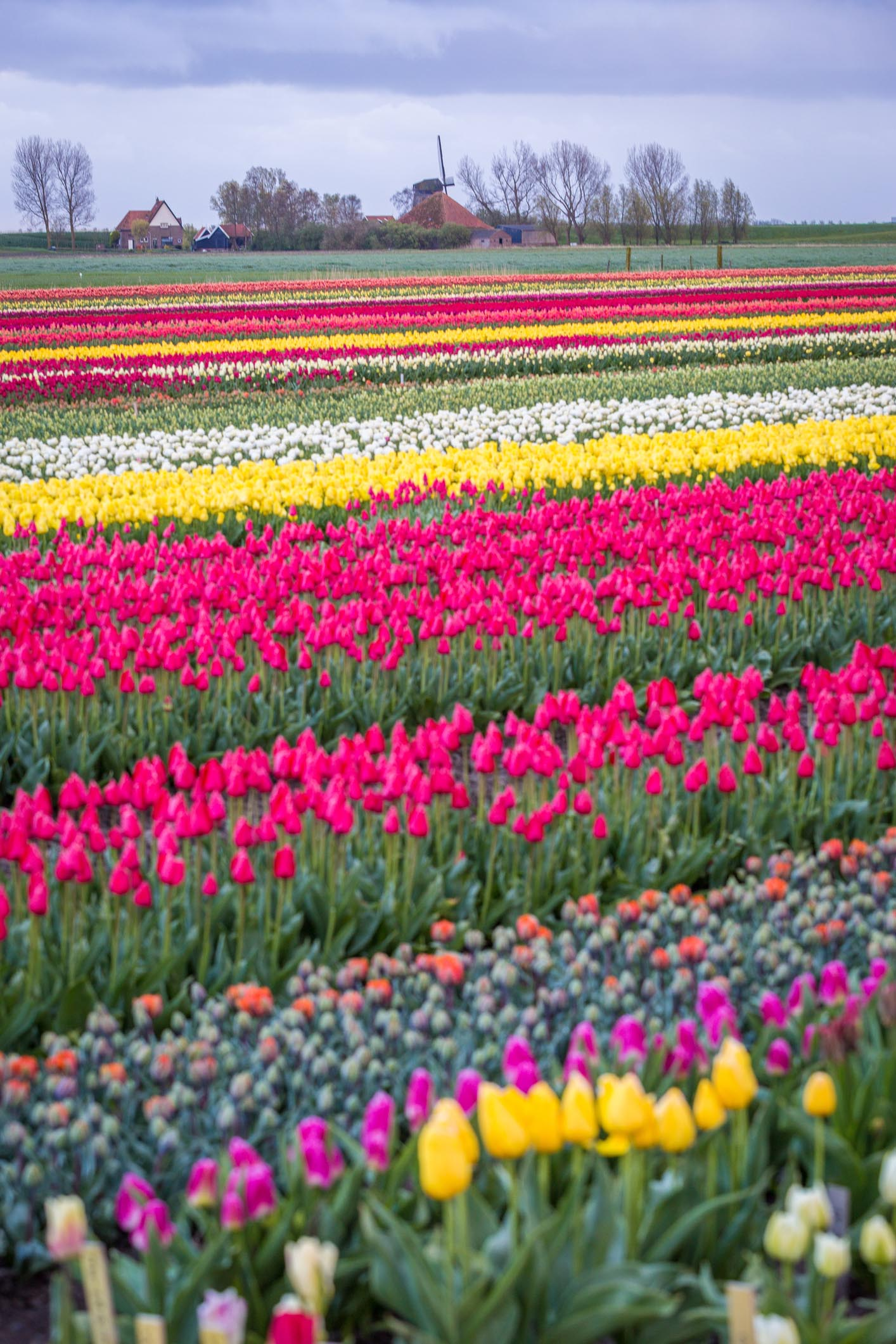 Tulip Fields In Europe Beautiful Photos Of