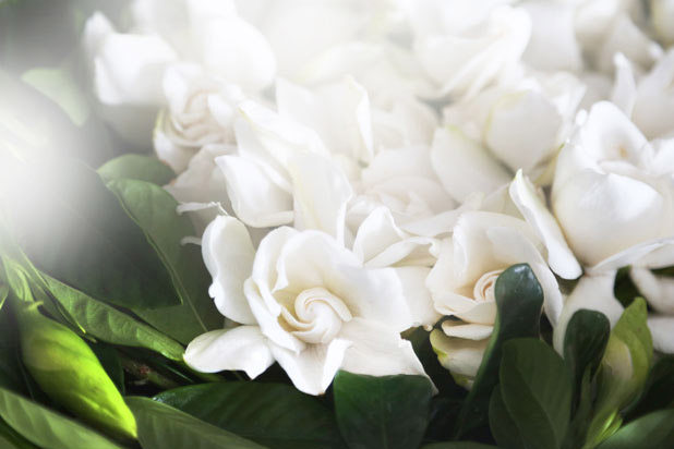 high camp supply co gardenias  luxury flower delivery, Natural flower