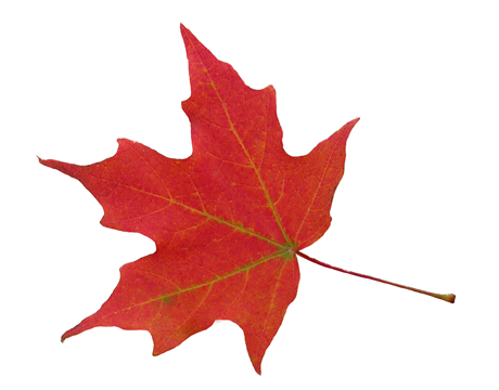 Who wouldn't want to capture the beautiful red of this maple leaf?